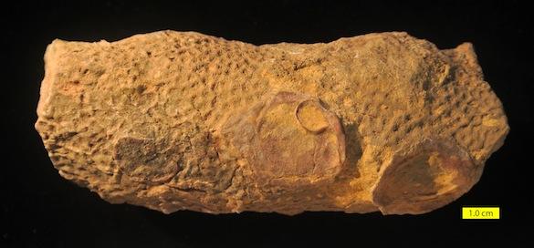Amphiastrea Etallon 1859 Matmor Formation 585