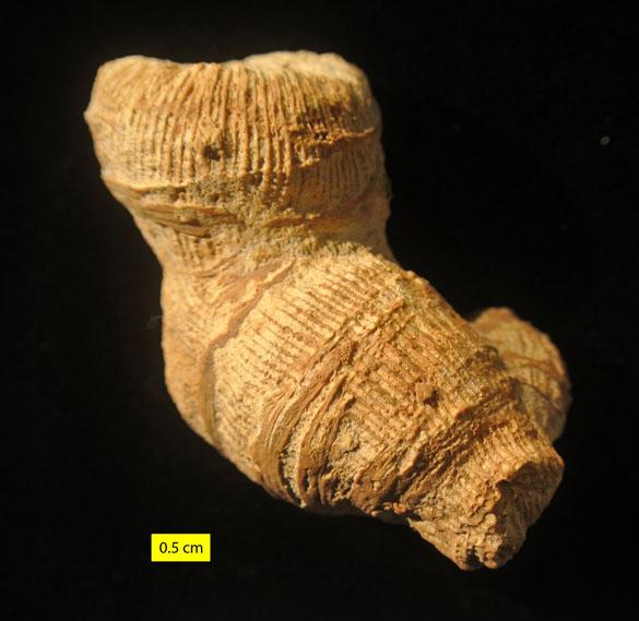 1 Epistreptophyllum Matmor CW366 585