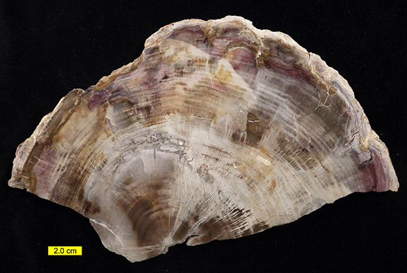 1Petrified Wood 052615 585