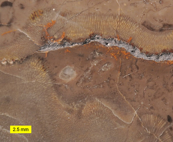 2 Chaetetid Benxi Formation (Moscovian) Benxi Liaoning China 585