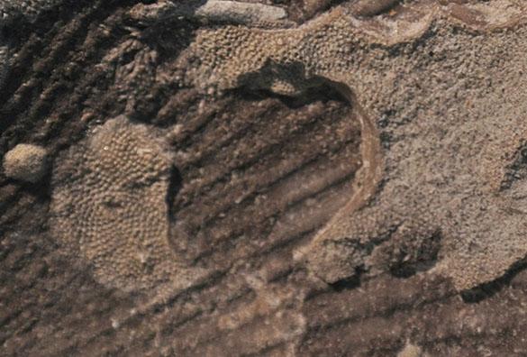 5 Inarticulate scar Anomalodonta gigantea Waynesville Franklin Co IN