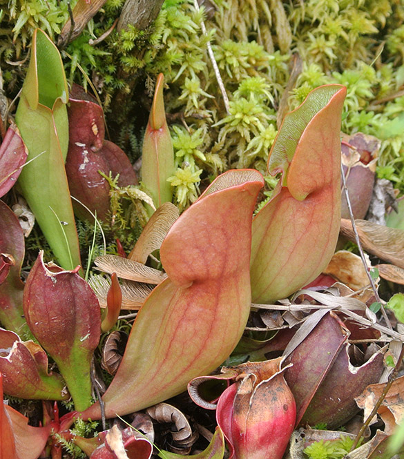 9 Sarracenia purpurea pitchers 585