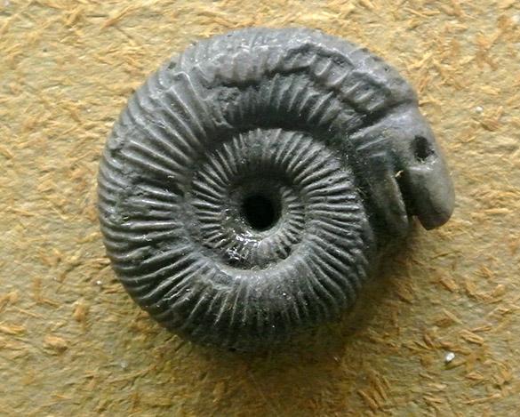 Snake ammonite
