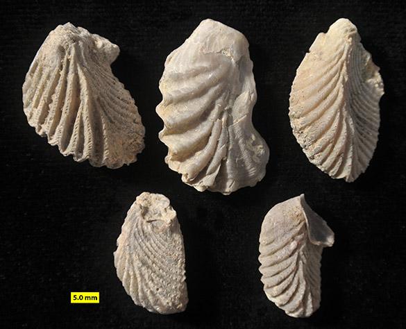 Actinostreon Matmor Jurassic 171 173 585