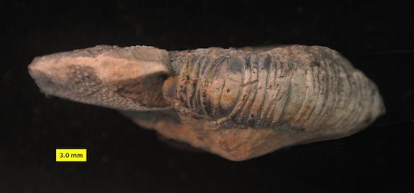 Dorsal Meyeria ornata