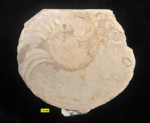 Goldringia cyclops Columbus Ls Devonian 585