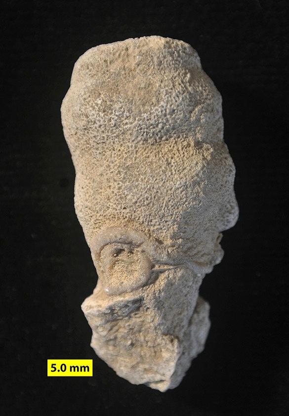 2 Matmor calcisponge Peronidella 585