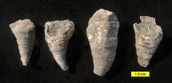 3 Wanakah corals