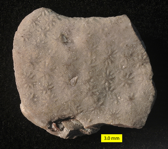 Constellaria polystomella Liberty Formation 585