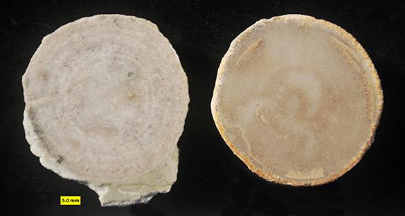 3 Esthoniopora subsphaerica