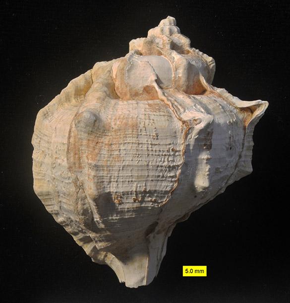 1 Bolinus brandaris coral reef 585