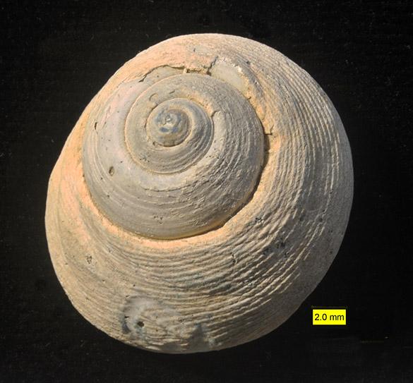 1 Gibbula Risso, 1826 apex