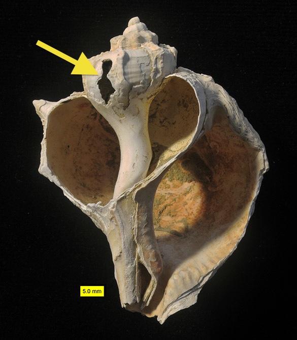 2 Bolinus brandaris opened coral reef 585