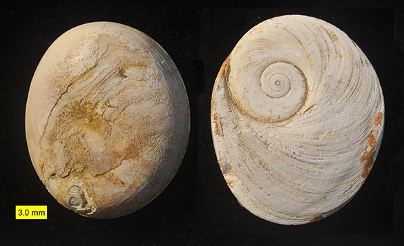 Opercula coral reef Pliocene Cyprus 585