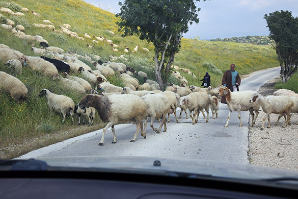 11 Bedouin sheep Maresha