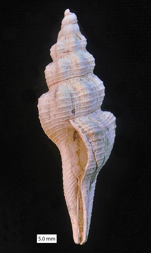 Fusinus Cyprus Pliocene 500