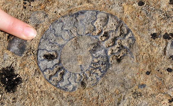 10 Horn Park ammonite 1