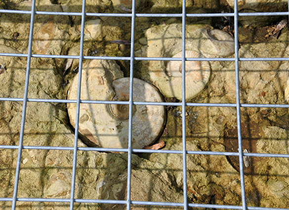 12 caged ammonites