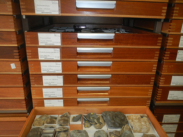2 Drawers of brachiopods