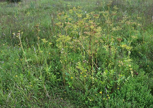 12 Wild Parsnip bush