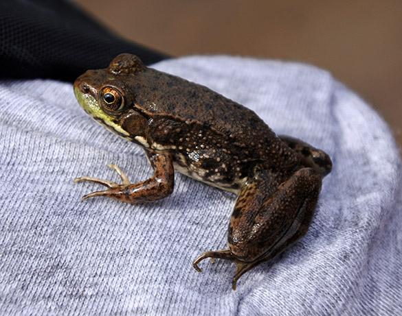 9 Bullfrog Dean