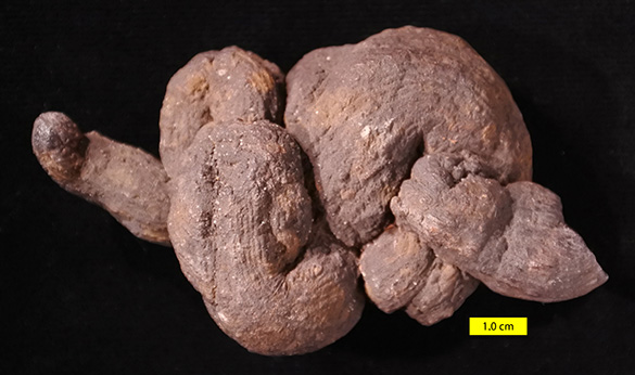Pseudocoprolite top view 585