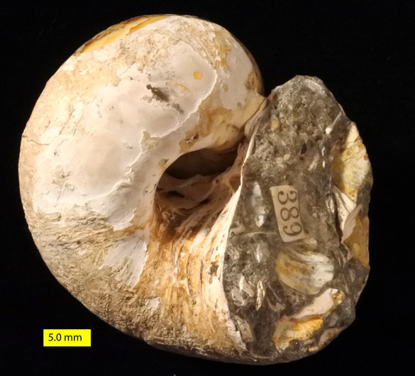 polinices-galianor-sd-pliocene-2-copy