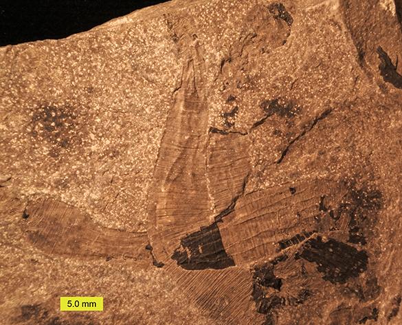 1-lecthaylus-gregarius-5-copy