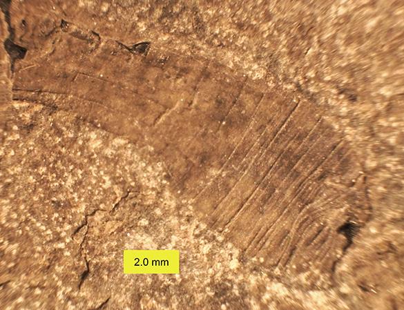 4-lecthaylus-gregarius-3-copy