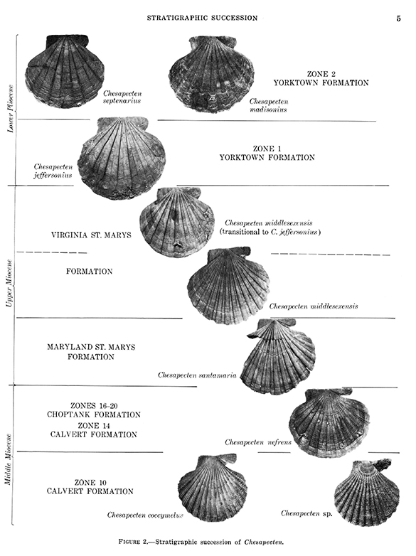 3-Chesapecten-evolution.jpg